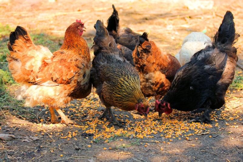 Best Egg Laying Chickens for Plenty of Eggs