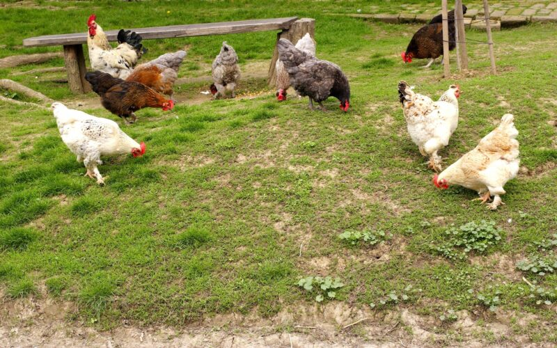 What Can Chickens Eat to Stay Healthy?
